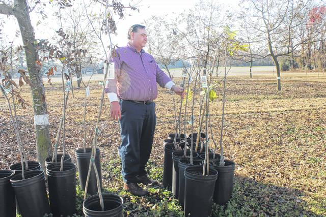 Eddie Faircloth observes new pecan trees on his farm.                                  File Photo   Sampson Independent