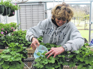 Nancy Thagard fertilizes the plants in preparation for the Sampson County Master Gardeners' upcoming plant sale, which kicks off this Wednesday.