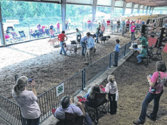 A look at some of the youth with their hogs during a previous livestock roundup show.                                  Courtesy Photo